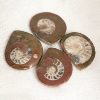 Ammonite Buttons